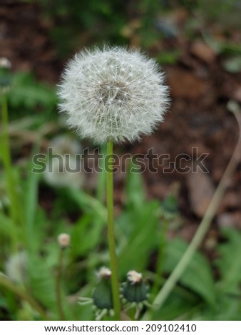 A lonely dandelion in a garden - stock photo