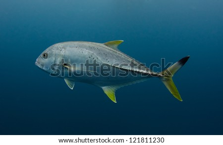 A lonely jack cruises in the deep in the Indian Ocean - stock photo