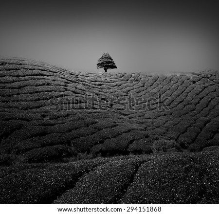 A lonely tree among tea plantation