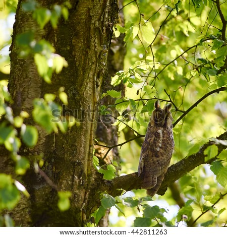 A long-eared owl is resting in on a branch in a tree.