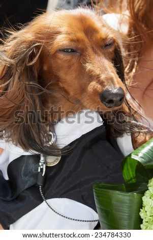 a long-haired dachshund dressed in costume - stock photo