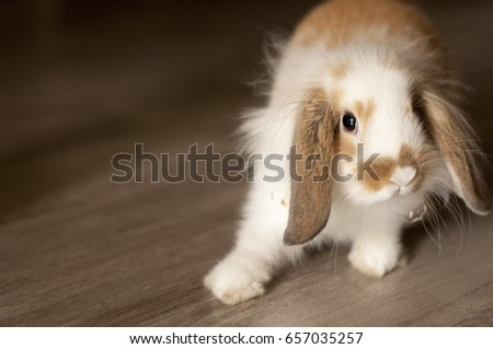 A long-haired rabbit on the floor