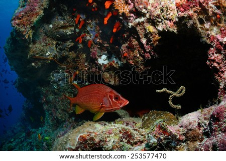 A long-jawed squirrelfish (Sargocentron spiniferum) is hiding in a cavern, Maldives - stock photo
