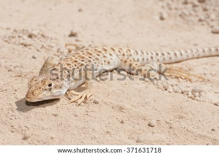 A long-nosed leopard lizard on a dirt road in the mojave desert.