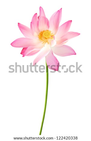 A long pink lotus isolated on white - stock photo