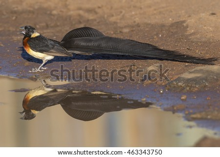 A long-tailed paradise-whydah and reflection from a pool of water
