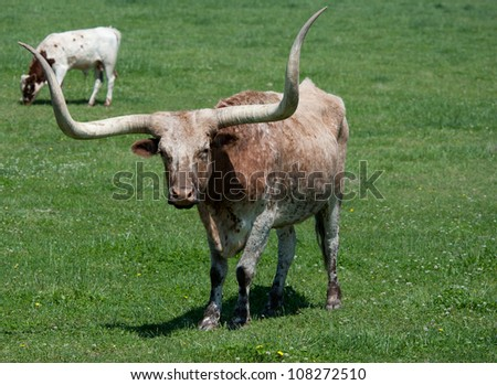 A longhorn bull in a pasture, grazing, standing - stock photo