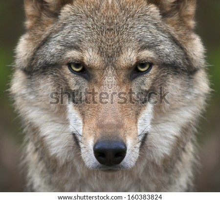 A look straight into your soul of a severe wolf female. Menacing expression of the young, two year old, european wolf, very beautiful animal and extremely dangerous beast. - stock photo