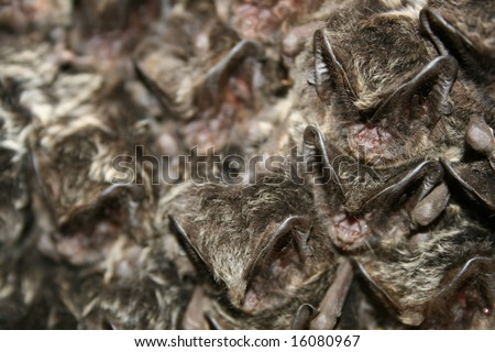 a lot of barbastelle bat sleeping in bunker during winter time