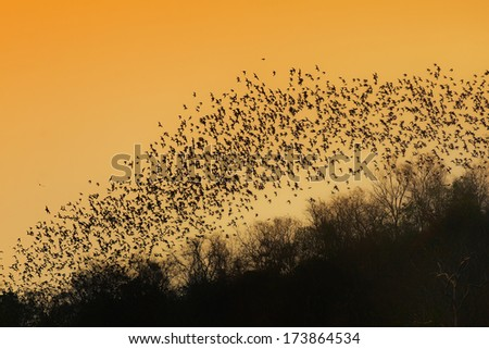 A lot of bats flaying in the evening sky to search for food.Picture is toned. - stock photo