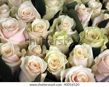a lot of beautiful light pink roses ( background )