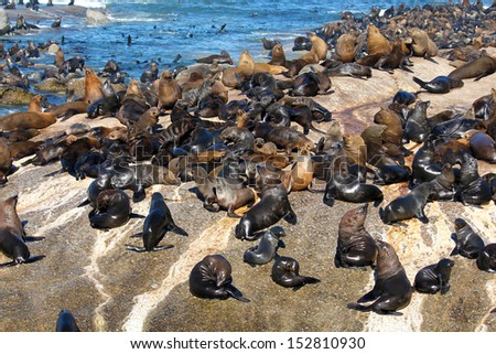 A lot of Cape Fur Seal at Seal island, Hout bay harbor, Cape Town, South Africa  - stock photo