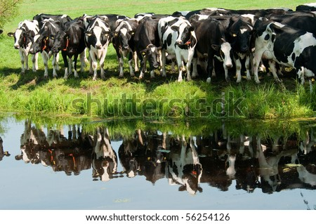 a lot of curious cows reflecting in the water - stock photo