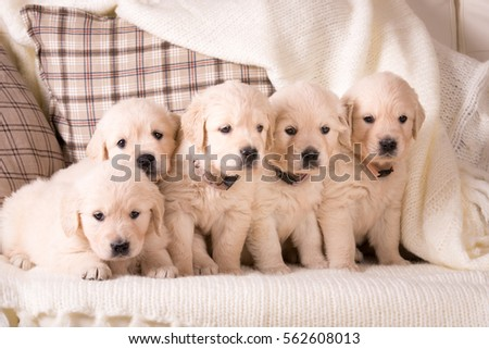 a lot of cute little golden retriever puppy sitting together