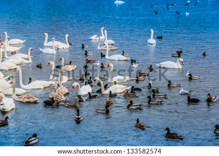 A lot of ducks, swans and water fowl in Krakow, Poland - stock photo
