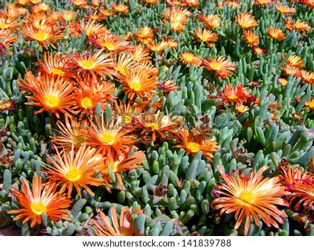 A lot of Flowers of a Succulent Plant in the Desert - stock photo