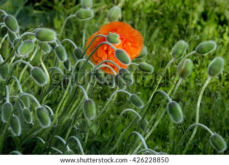 a lot of flowers of poppy unblownwith tender hair-springs - stock photo