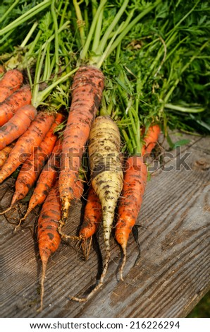 a lot of fresh harvested carrots  on a wooden table - stock photo