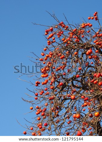 a lot of fruit ripe persimmon tree - stock photo