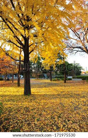 a lot of ginkgo on the ground in autumn