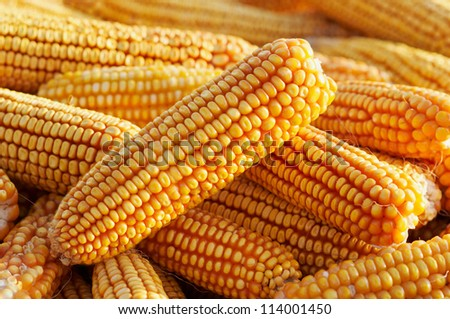 a lot of heads of ripe tasty corn - stock photo