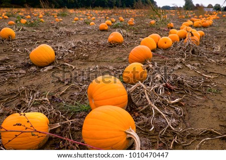 a lot of pumkin for halloween