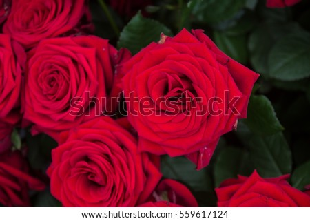 a lot of red roses, a nice background