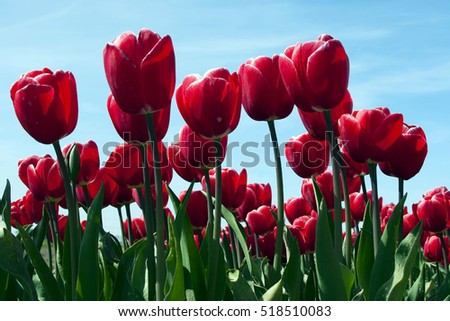 A lot of Red Tulips.