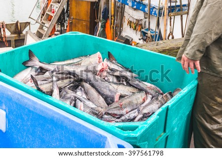 a lot of salmons from the ocean in green  Thermal Insulated Plastic Fish Box f,ready for transfer to the market - stock photo