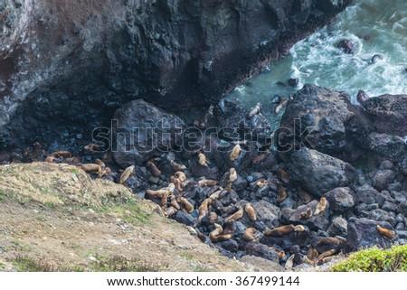 a lot of sea lion on in sea lion cave, Oregon coast,OR,usa. - stock photo