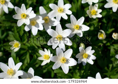 a lot of spring white flowers - anemone nemorosa in garden on green background - stock photo