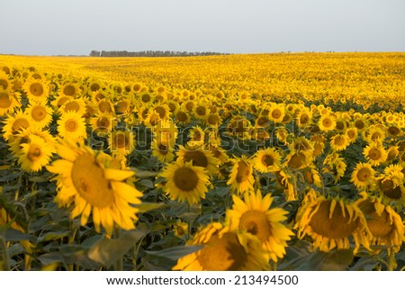 A lot of sunflowers in the field. Sky and horizon. Summer time. Sunrise. Morning. Focus in the middle part of shot. - stock photo