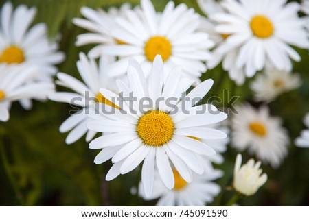 A lot of white flowers of camomile (daisy). One flower in focus. The other are defocused. Natural blurred dark green background.