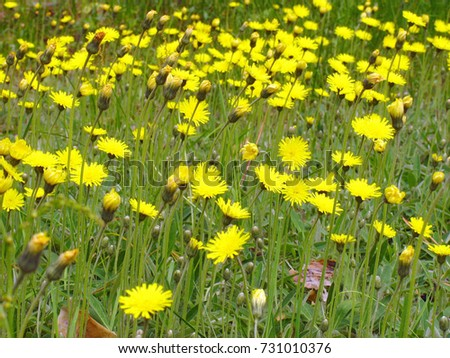 A lot yellow flowers at green meadow in wild nature outdoors.