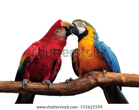 a love-bite or a kiss?? Pair of colorful Macaws interacting, isolated on a white background.