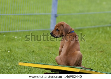 A lovely and cute Rhodesian Ridgeback puppy is sitting outdoor on a seesaw and watching.