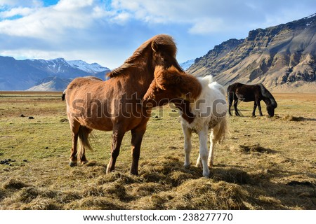 A lovely couple of Icelandic Horses in a field on a sunny day  - stock photo