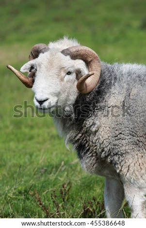 A lovely Ram, male sheep, with horns, close-up - stock photo