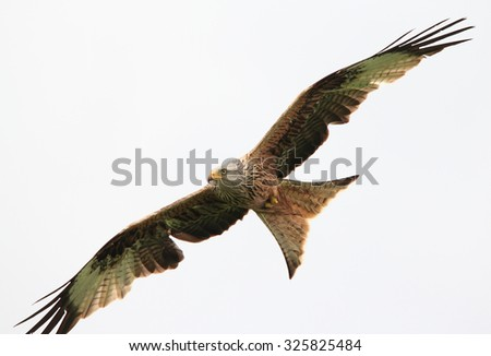 A lovely Red Kite in flight against the sky - stock photo