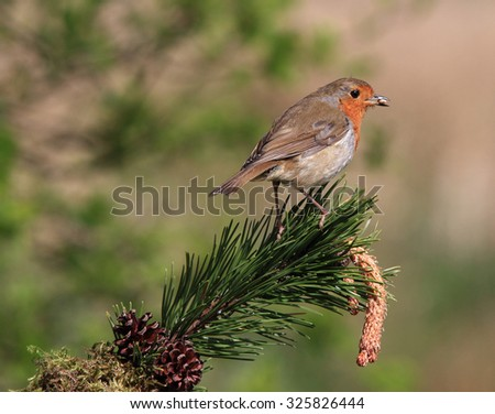 A lovely Robin Redbreast, also simply known as Robin or Christmas Robin, on a pine branch - stock photo
