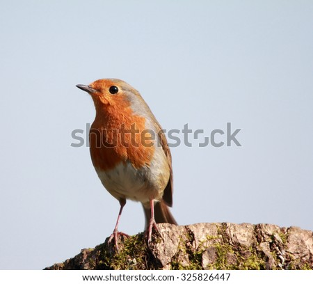 A lovely Robin Redbreast, also simply known as Robin or Christmas Robin, perched on a dead tree, against the sky