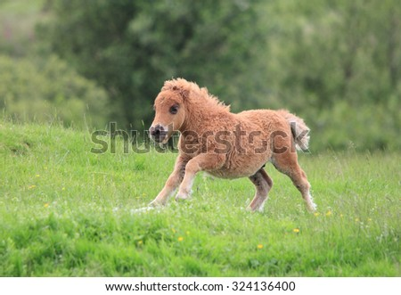 A lovely Shetland Pony running in the green grass field - stock photo