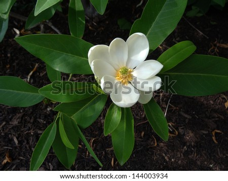 A lovely single specimen of magnolia tree flower in dappled sunlight.