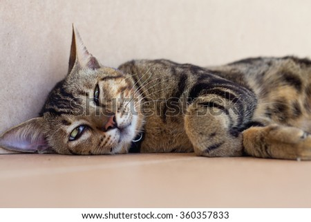 A lovely sleepy brown cat with tiger stripe sleeping on the floor with brown background