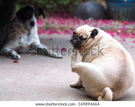 a lovely white fat pug sitting on the garage floor scratch itself with it's leg with a tall dalmatian dog looking laying on the floor in the background - stock photo