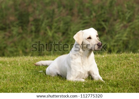 A lovely white labrador retriever female with nice expression in her head is lying in the green grass in a park.