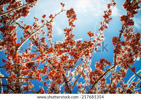 A low angle close up of the aftermath of an ice storm showing thick layer of ice covering the branches and crab apples on a tree against a clear blue sky.   - stock photo