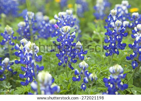 A low angle close up view of Texas bluebonnets with selective focus - stock photo