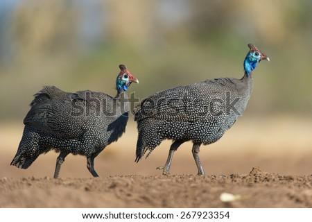 A low angle, horizontal colour photo of two helmeted guinea fowl walking in Mashatu, Botswana. - stock photo