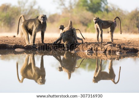A low angle, horizontal colour photograph of a small group of baboons, Papio ursinus, and their full reflections in the water at a waterhole in Mashatu Game Reserve, Northern Tuli, Botswana. - stock photo